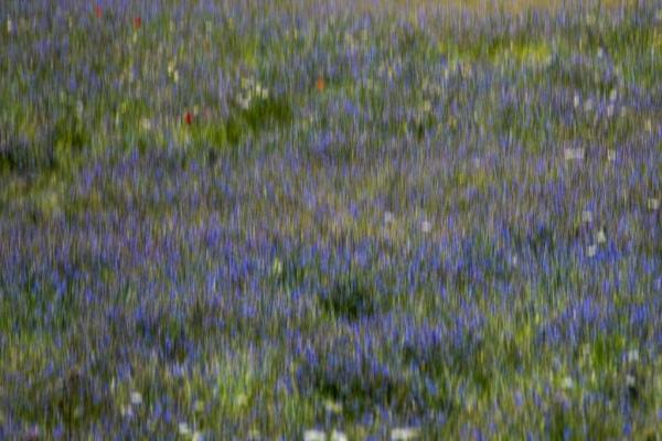 Castelluccio-di-Norcia-flowering-view