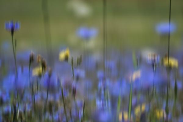 Castelluccio-di-Norcia-flowering