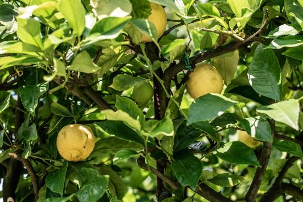 Lemon-Garden-Villa-Marlia